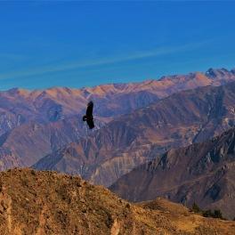 Condor au dessus du Canyon de Colca, région d'Arequipa.