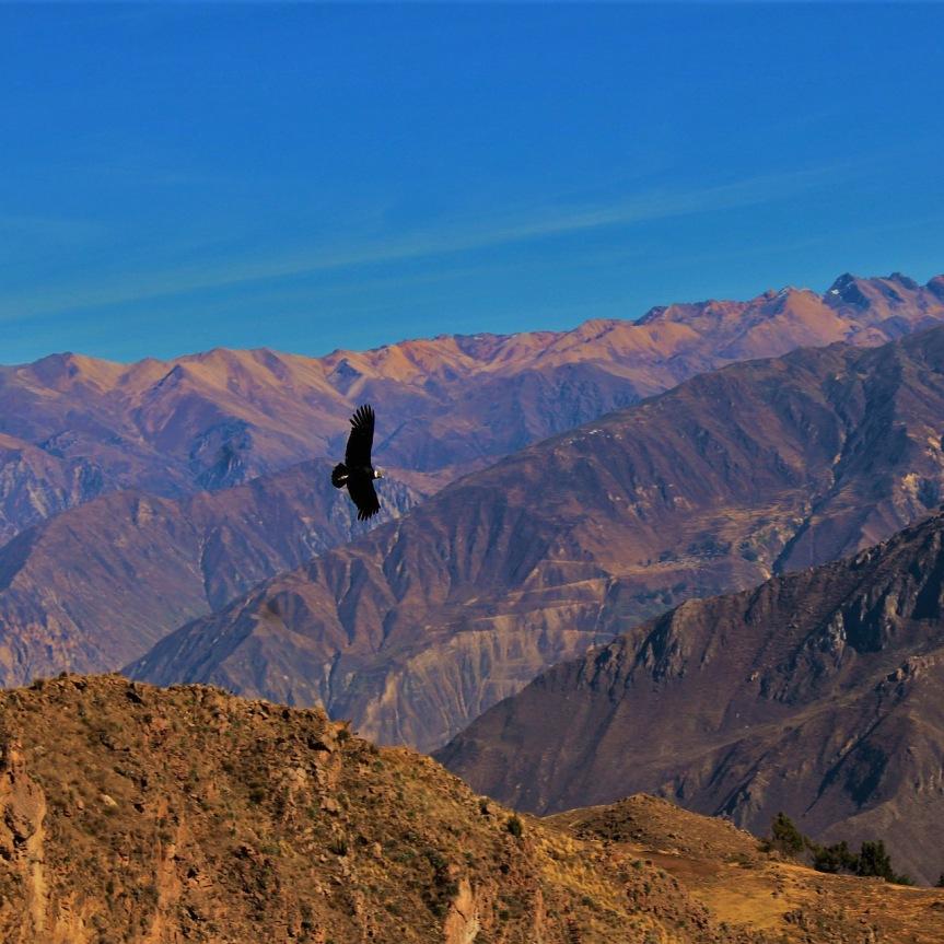 Vol du Condor au dessus du canyon de Colca, région d'Arequipa.