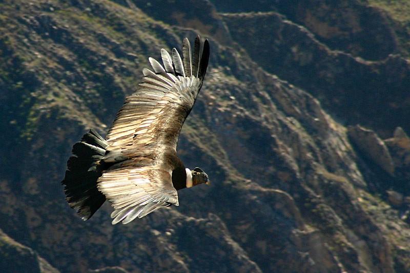 Condor au dessus du canyon de colca. Pérou.