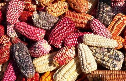 Diversité de variétés de Maïs du Pérou.